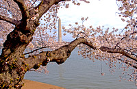 Cherry Blossoms - Monument