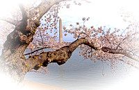 Cherry Blossoms - 2