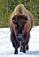 Bisson - Yellowstone, Wy