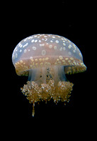 White-spotted jellyfish